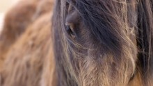 Majestic Icelandic Horse Close...