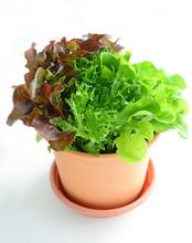 Living Tricolor Lettuce