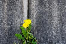 Dandelion Flower Growing In Crack Of Concrete Wall