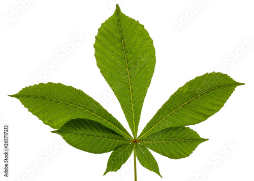 Green chestnut leafs (Aesculus hippocastanum), isolated on white background Canvas Print