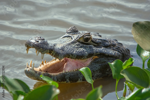 Fotografija  Cayman in the Lake with Mouth Open and with aquatic vegetation in Pantanal, Braz