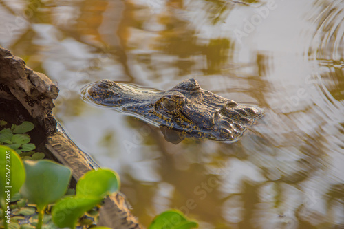 Fotografija  Wild Cayman in the River with Reflection and Green Plants in Pantanal, Brazil