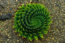 Cactus In Garden, Nice Symmetry