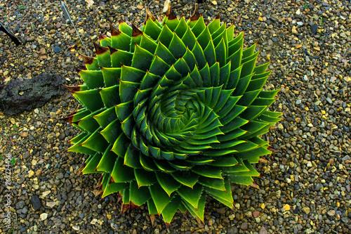Fotografia cactus in garden, nice symmetry