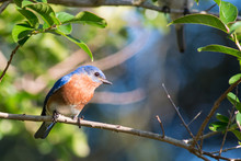 Male Bluebird Perched On A Tree Branch.