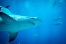 Under Side Of Spinner Shark
