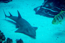 Bowmouth Guitarshark Swimming ...