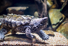 An Alligator Snapping Turtle I...