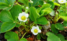 White Strawberry Flowers With ...