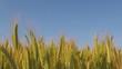 grain field in a wind against clear blue sky