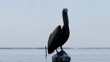 Pelican Close Up On Pile At The Sea In Captiva Island Florida