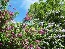 Blooming Purple And Pink Lilacs