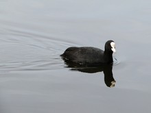 American Coot Swimming On A Lake