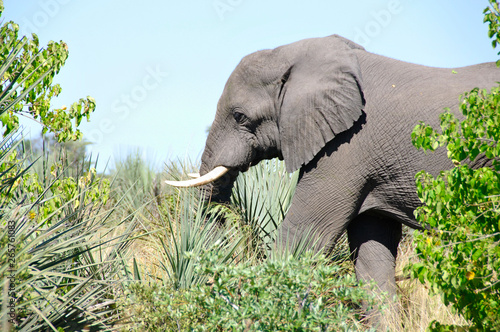 Getting close to the wildlife world of the Big 5 on a safari in the Okavango-Delta swamps in the middle of the Kalahari-desert