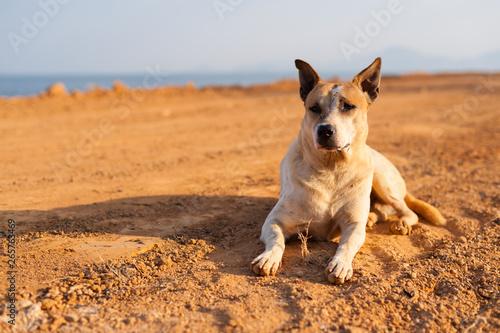 Thai dog keep an eye on incoming enemies Fototapet