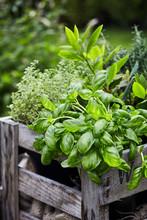 Fresh Organic Basil Growing In A Flowerpot