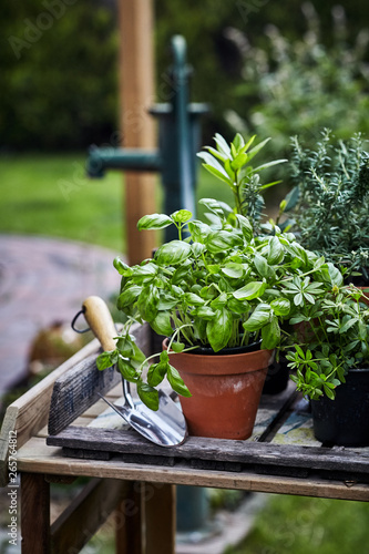 Photographie Pot of fresh basil on a garden table