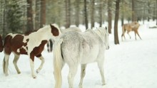Horses Walk Together In Slowmotion. White, Pinto And Brown Horses Enjoy The Fresh Cool Snow In The Mountains Surrounded By Trees. Shot In Super Slowmotion.mov