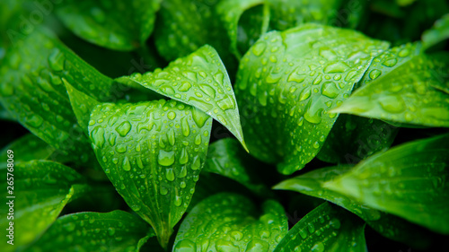 Green foliage of plants covered with raindrops. - 265768069