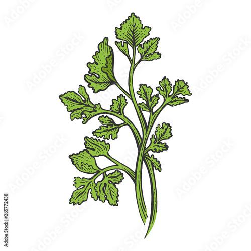 Fototapeta Cilantro Coriander parsley green herb spice color sketch engraving vector illustration. Scratch board style imitation. Hand drawn image. obraz