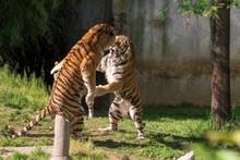 Two Tigers Fight In A Zoo In I...