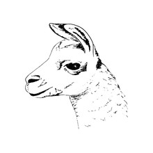 Llama Head Big Black Eyes, Cute Ink Pen Sketch Alpaca. Realistic Lama Animl. Ands, South America.