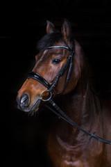 Pferd im Fotostudio vor schwarzem Hintergrund