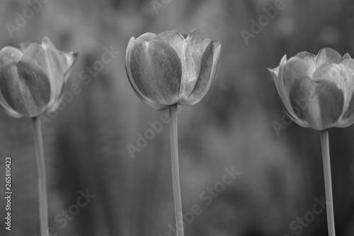 Montage in der Fensternische Darknightsky Tulip flowers like at Amsterdam