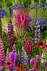 Fototapeta Do sypialni A colourful display of flowering lupins; astilbes; echinacea; agapanthus; liatris spicata; achillea in a garden flower border