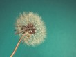 Close Up of Dandelion on on blue-green background