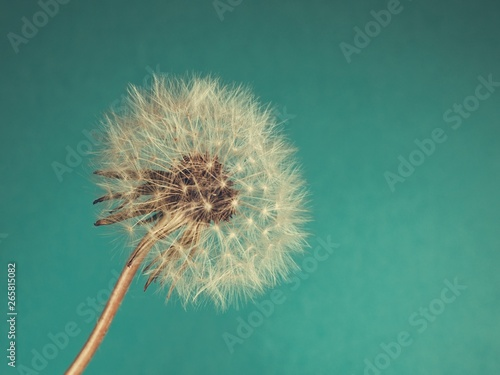Close Up of Dandelion on on blue-green background - 265815082