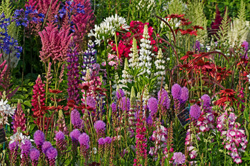 Fototapeta Ogrody A colourful display of flowering lupins; astilbes; echinacea; agapanthus; liatris spicata; achillea in a garden flower border