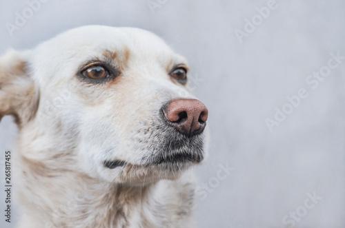 Portrait of a mongrel dog of a light color, close-up Fototapete
