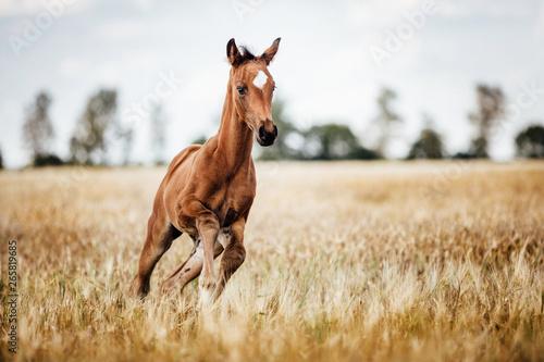 Cuadros en Lienzo  Pferd Fohlen gallopiert frei auf dem Feld