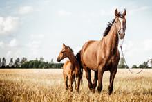 Pferde Fohlen Auf Einem Feld Warmblutstute Mit Fohlen Bei Fuss Auf Einem Schönen Stoppelfeld Im Spätsommer Mit Wunderschöner Blesse
