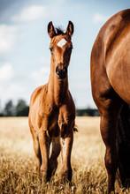 Braunes Pferde Fohlen Steht Auf Einem Feld Mit Seiner Mutter Mit Schönem Abzeichen Am Kopf