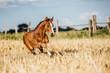 Pferd Fohlen auf dem Feld im Galopp