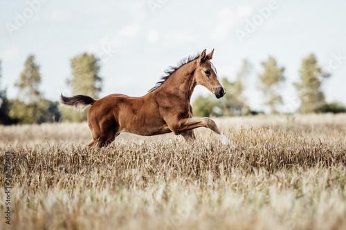 Fotomural Pferd Fohlen auf dem Feld
