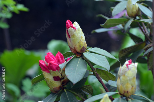 Close up of  rhododendron bud with lots of  flowers and large green leaves.