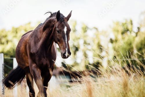 Fototapeta braunes edles glänzendes Pferd schreitet im Schritt auf der Weide im Sommer