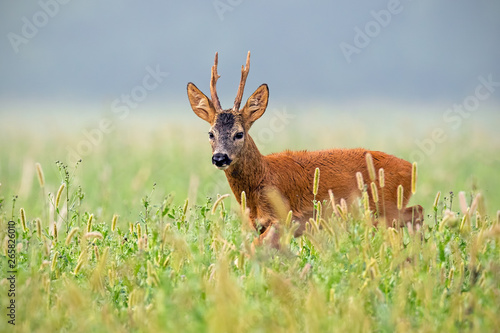 Foto op Plexiglas Ree Roe deer, capreolus capreolus, buck walking in tall grass in summer. Male deer animal in nature.