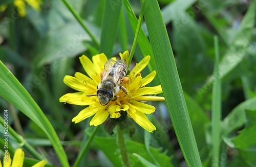 Bee on dandelion flower