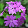 canvas print picture - flowers phlox garden