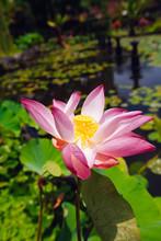 Pink Lotus On The Pond