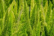 Amazing Foxtail Fern Asparagus Field. Green Garden Bush