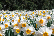 A Field Of White And Yellow Daffodils. Free Space For Text. Background. Spring.