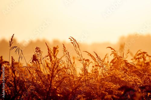 Fotografie, Obraz  Gräser im Gegenlicht bei Sonnenaufgang