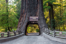Chandelier Drive-Through Tree, Leggett, Northern California, USA