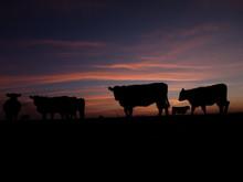 Cows Sunrise