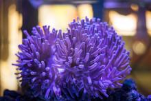 Anemone In Sea